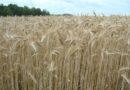В Тейковском районе идет уборка зерновых культур